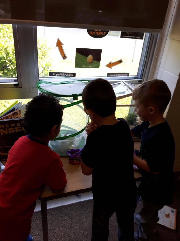 Growing Butterflies in the Classroom