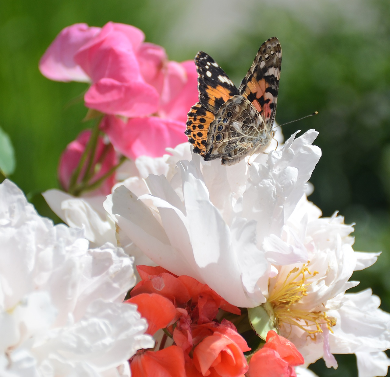 PAINTED-LADY-BUTTERFLIES--LIFE-CYCLE-OBSERVATIONS